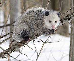 Opossum Cody Pope